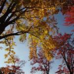 2014 Marquette Maple Trees